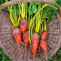 Beet 'Badger Flame' Organic