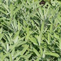 Sage Organic