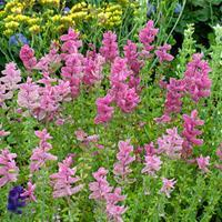 Salvia - Annual Clary 'Rose' Organic