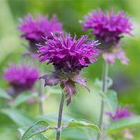 Bee Balm 'Purple Rooster'
