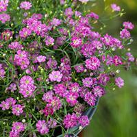 Gypsophila 'Gypsy Deep Rose'
