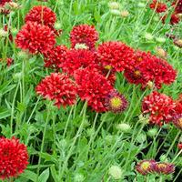 Blanket Flower 'Red Plume'