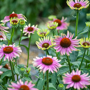 Coneflower 'Green Twister'