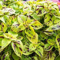 Coleus 'Stained Glassworks Presidio'
