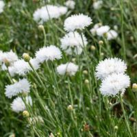 Cornflower 'Snowman'