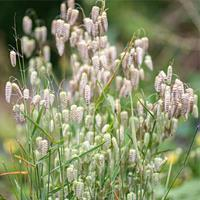 Greater Quaking Grass