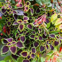 Coleus 'Dark Heart'