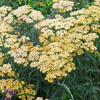 Yarrow 'Terracotta'