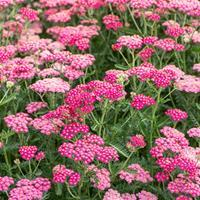 Yarrow 'New Vintage™ Rose'