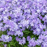 Phlox 'Blue Moon'