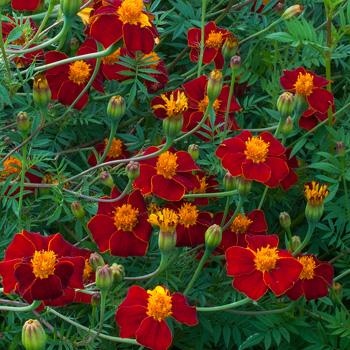 Marigold 'Burning Embers' Organic
