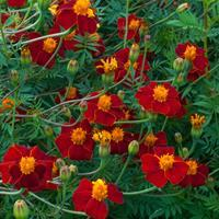 Marigold 'Burning Embers'