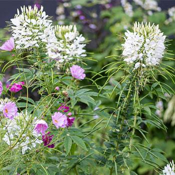 Cleome 'White Queen' Organic