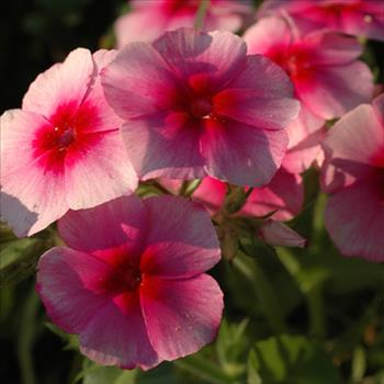 Phlox 'Brilliant'