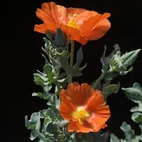 Horned Poppy 'Burnt Orange'