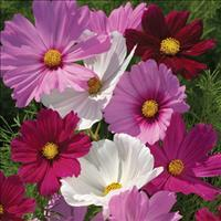 Cosmos 'Gazebo Mix'