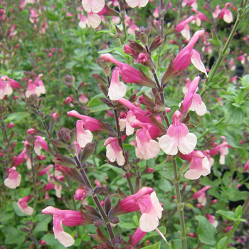 Salvia 'Shell Dancer'