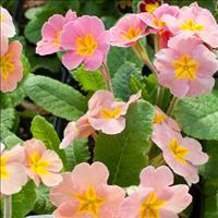 Primrose 'Desert Sunset Mix'