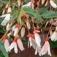 Begonia Million Kisses® 'Elegance'