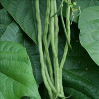 Bean - Filet 'Fortex'