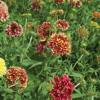 Blanket Flower 'Lorenziana'