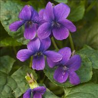 Violet - Sweet 'Governor Herrick'