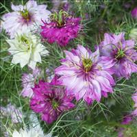 Love-in-a-Mist 'Persian Red'
