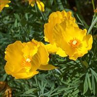 Poppy - Mexican Tulip 'Sunlite' Organic