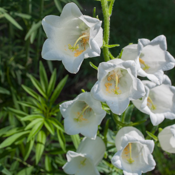 Canterbury Bells 'White'