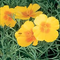 California Poppy 'Golden West'