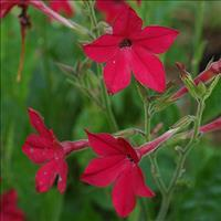 Tobacco 'Crimson Bedder'