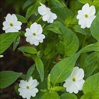 Browallia 'Snow White' Organic