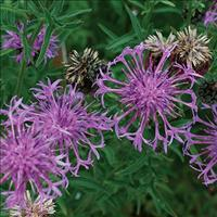 Cornflower 'Perennial Butterfly'