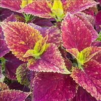 Coleus 'Alabama Sunset'
