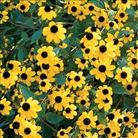 Rudbeckia 'Brown-eyed Susan'