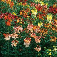 Wallflower 'Fair Lady'