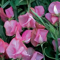 Sweet Pea 'Miss Willmott'