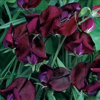 Sweet Pea 'Black Knight'