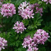 Geranium 'True Rose'