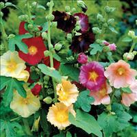 Hollyhock - Fig 'Happy Lights'