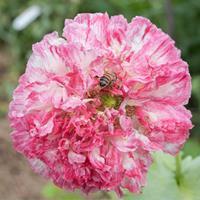 Poppy - Peony 'Flemish Antique'