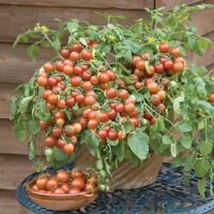 Tomato 'Cherry Falls' F1