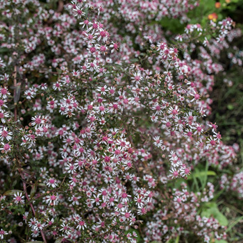 aster lady in black aster lateriflorus plants select