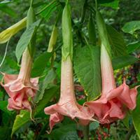 Brugmansia 'Triple Orange'