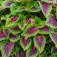 Coleus 'French Quarter'
