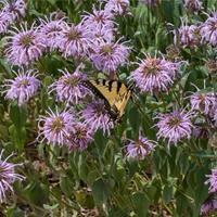 Bee Balm - Eastern