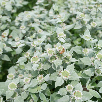 Mountain Mint Pycnanthemum Muticum Plants Select Seeds