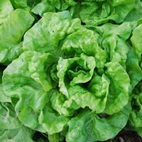 Lettuce 'Tennis Ball' Organic
