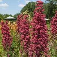 Quinoa 'Brightest Brilliant Rainbow' Organic
