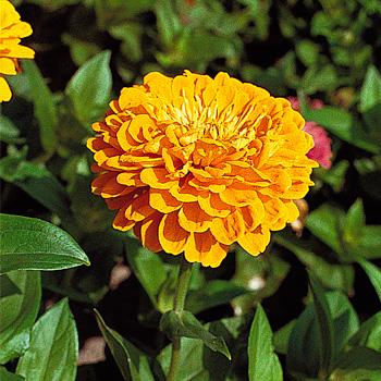 Zinnia 'Benary's Giant Golden Yellow'